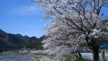深戸の桜並木(1)