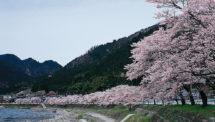深戸の桜並木(2)
