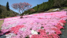 國田家の芝桜(2)