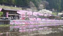 國田家の芝桜(3)