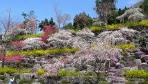 善勝寺の桜(2)