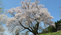善勝寺の桜(5)