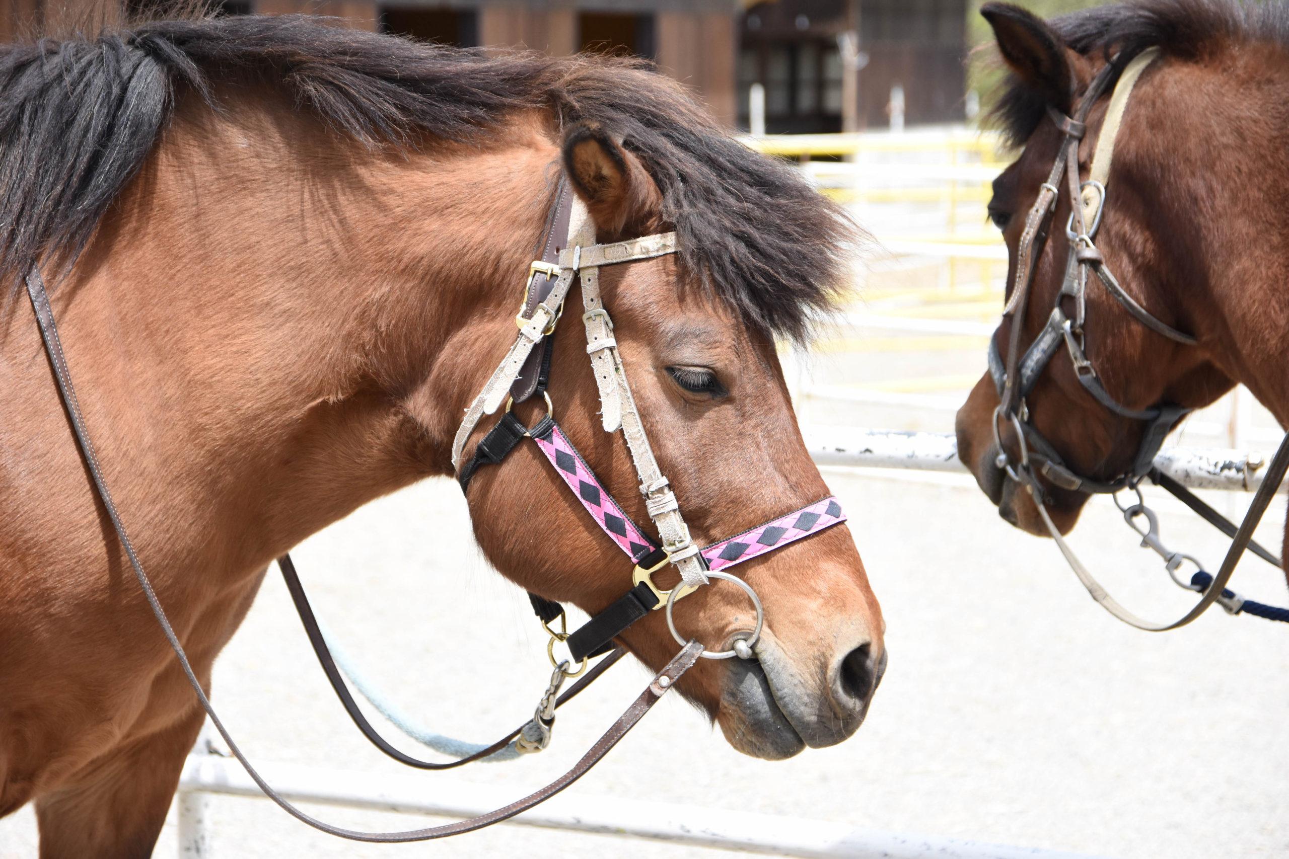 <T_018>ひるがの高原の大自然の中を「木曽馬」に乗ってのんびりお散歩 サムネイル